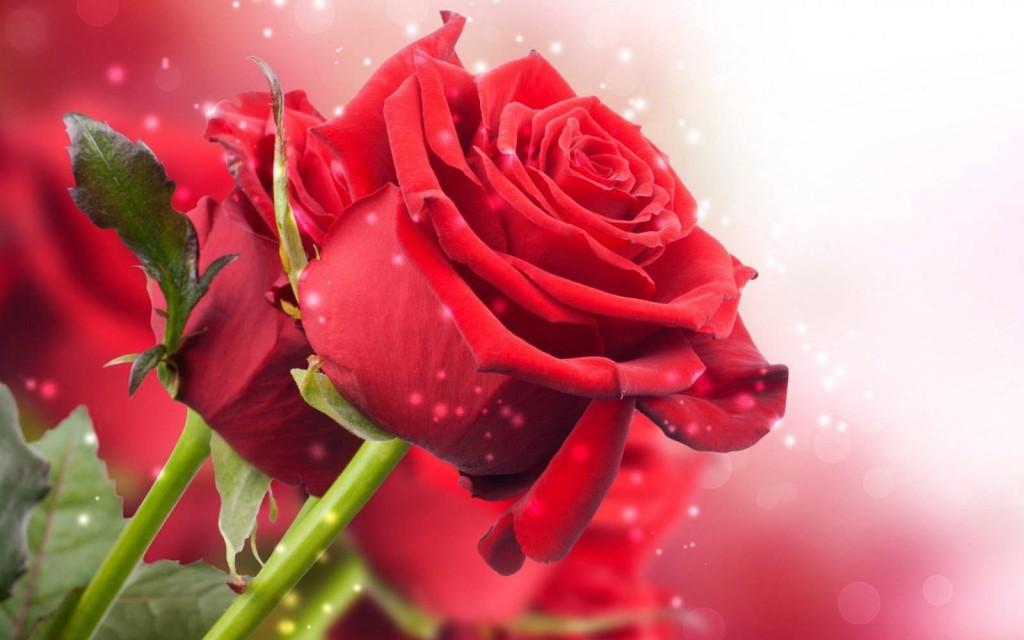 rosas rojas para dedicar
