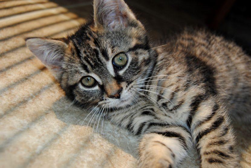 gatito tigriado