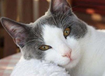 imagen de un gato blanco