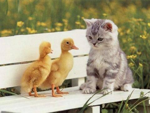 imagen de un gato junto a patos
